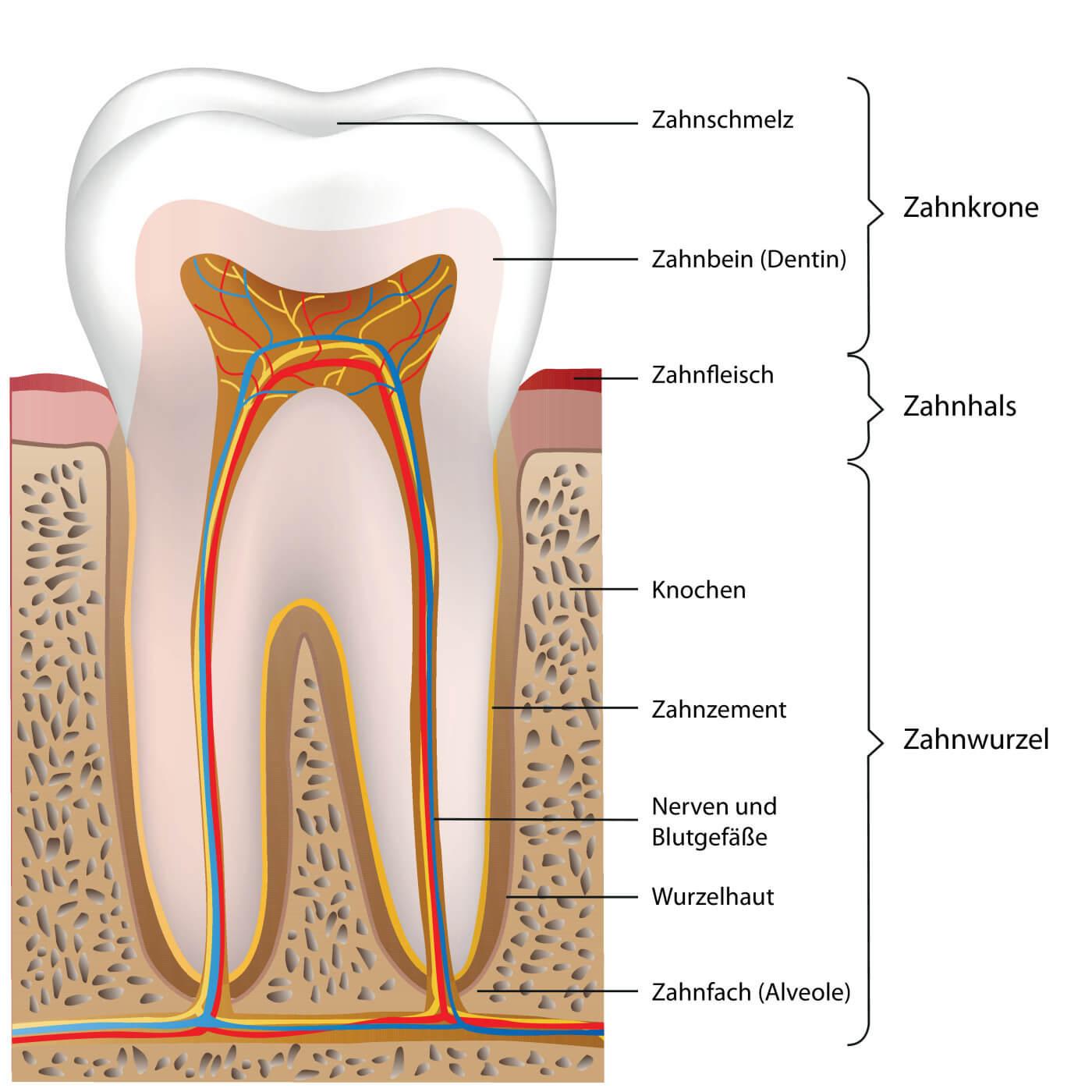 Illustration Zahnaufbau Erklaerung Zahnschmelz